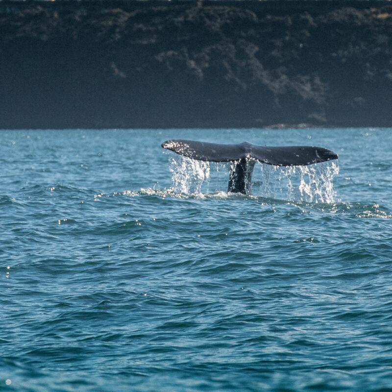 A whale off the coast of Oregon.