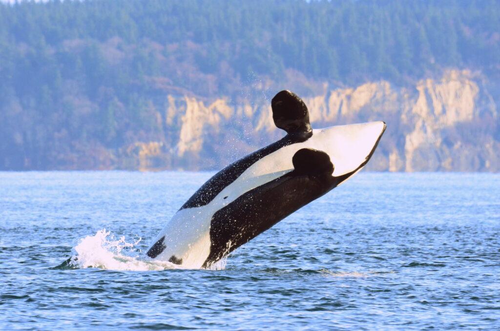 A whale off the coast of Washington.