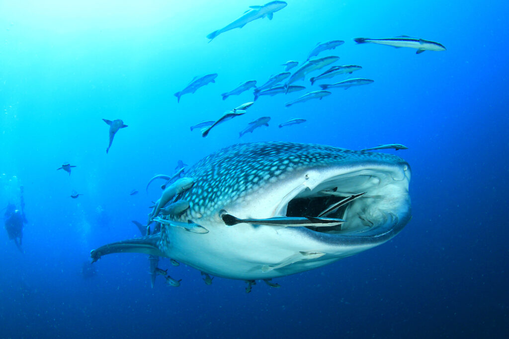 A whale shark off the coast of Isla Mujeres.