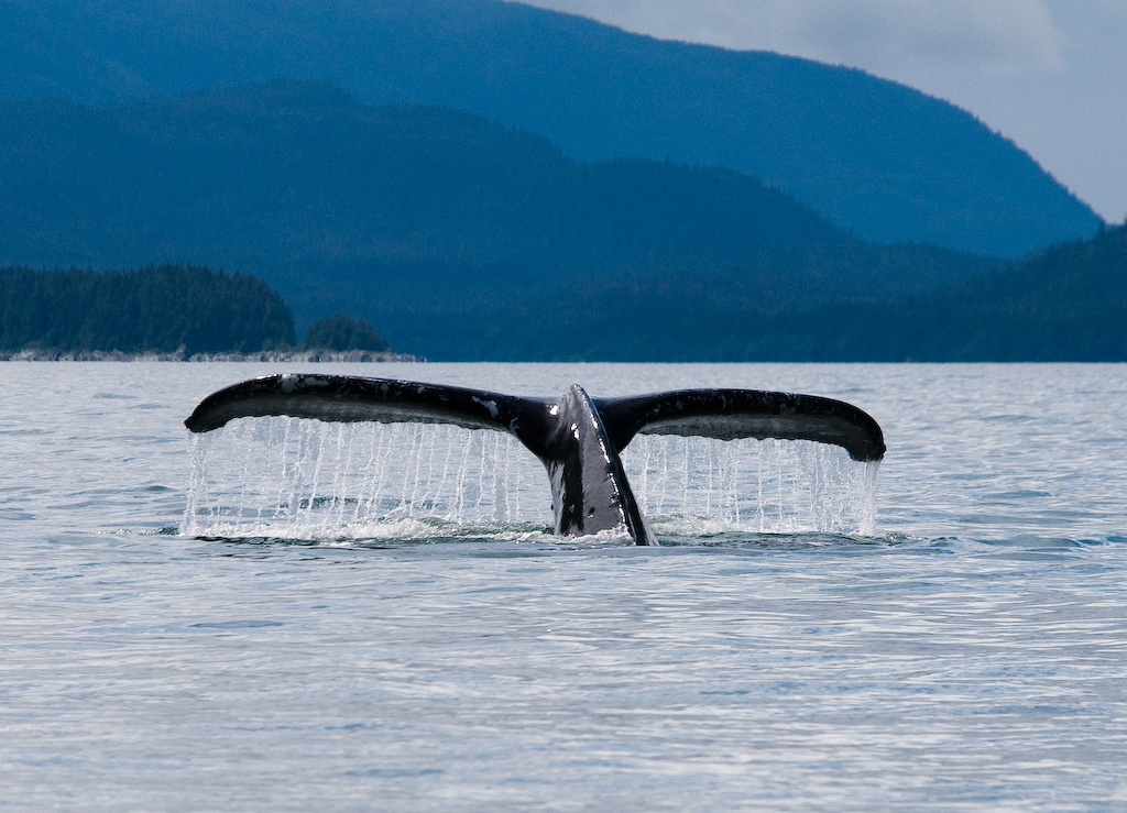 a whale tail emerging from the water near Juneau, Alaska