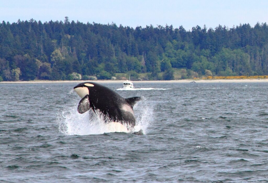 A whale watching tour via Salt Spring Adventure Co. Ltd.