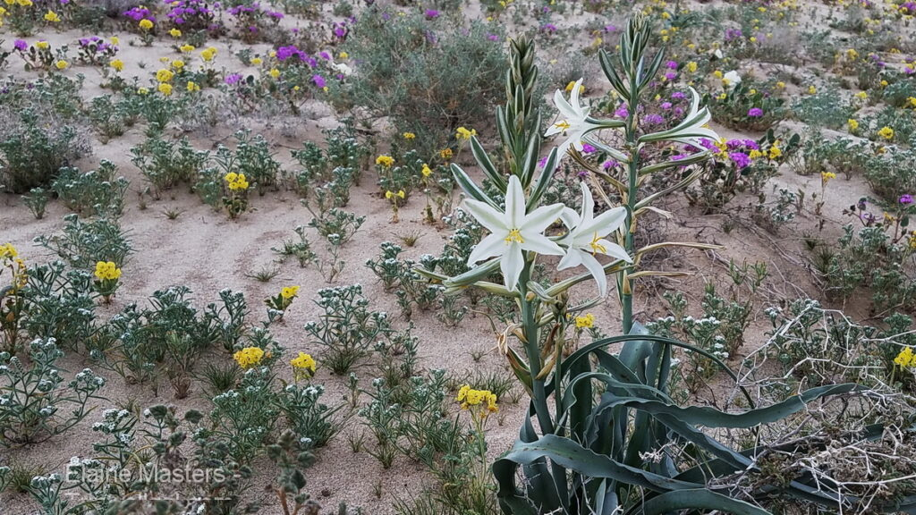 A white and yellow flower in the desert.