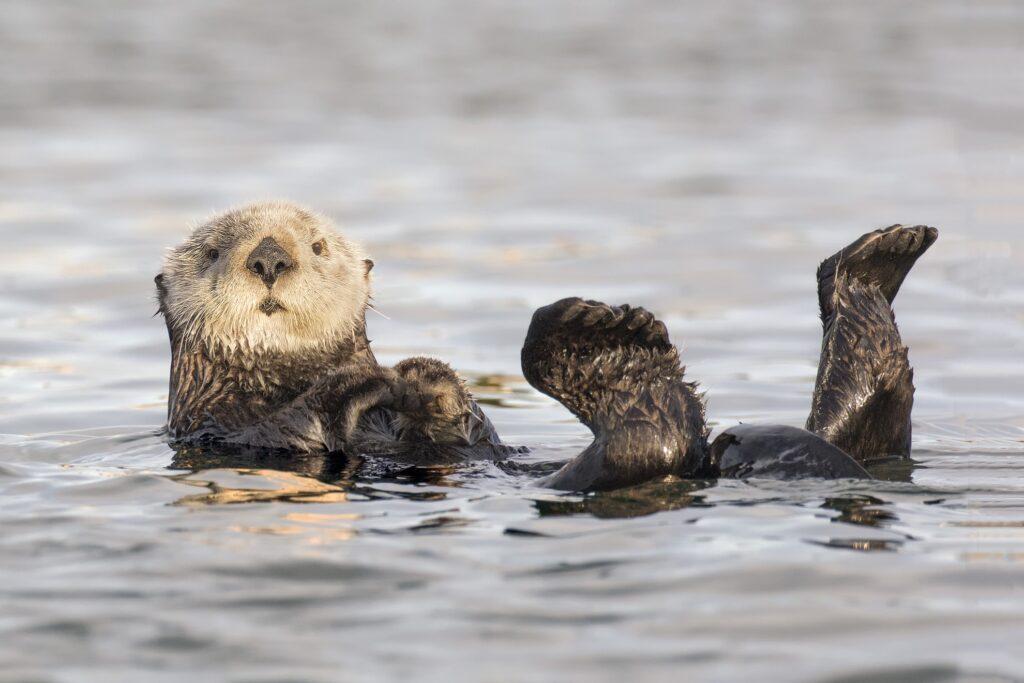 A white faced California sea otter.