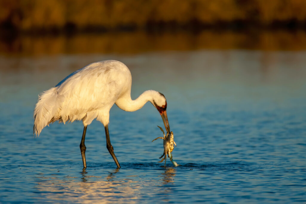A whooping crane catches a crab in southern Texas.
