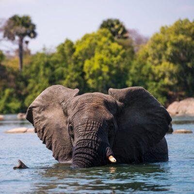 A wild African elephant.