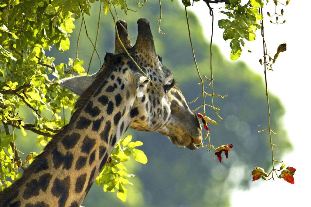 A wild African giraffe.