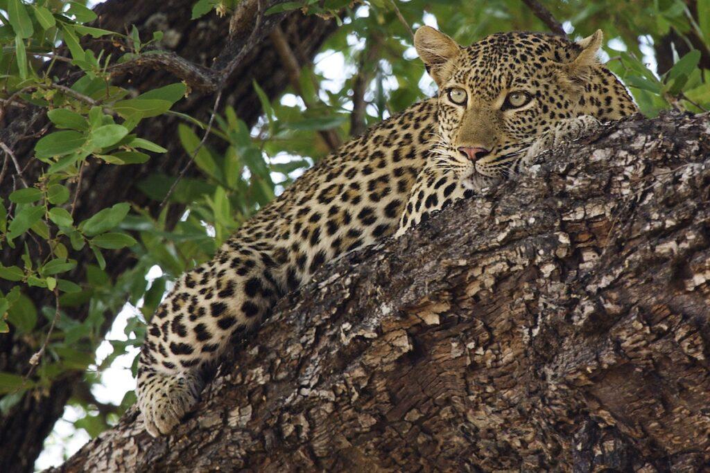 A wild African leopard.