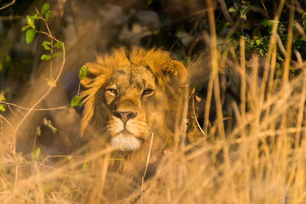 A wild African lion.