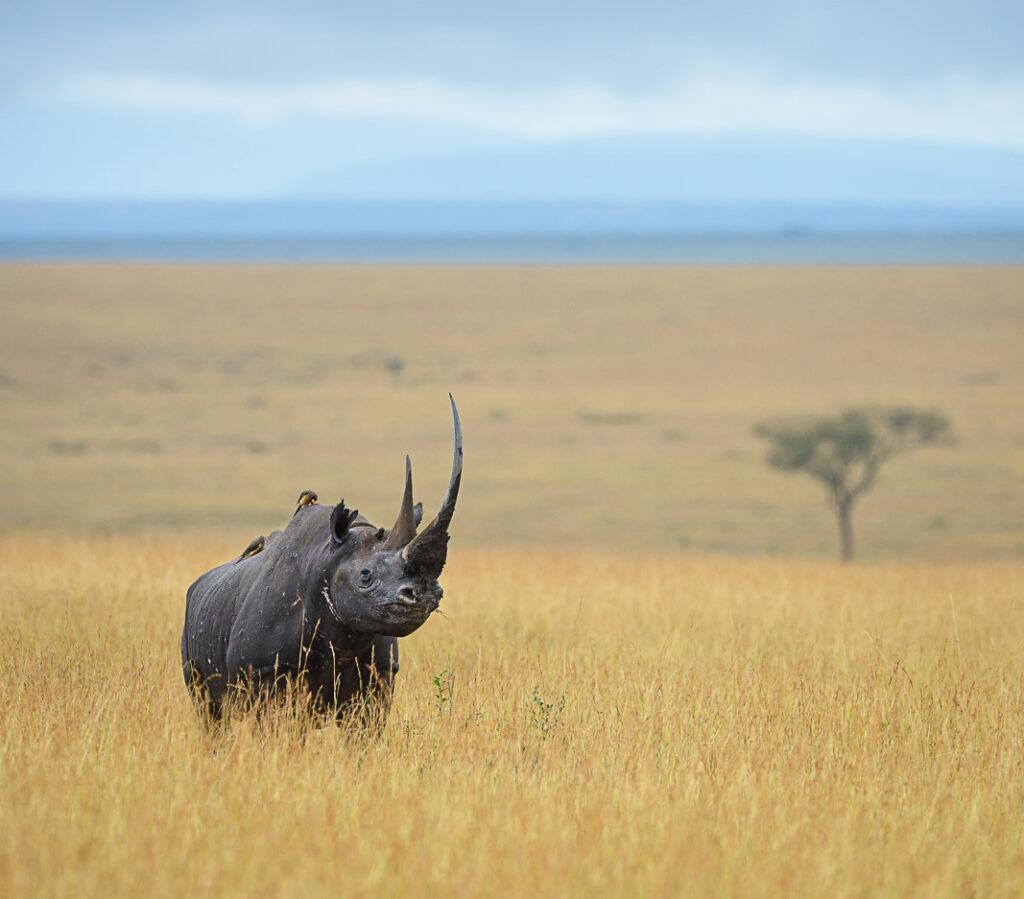 A wild African rhino.