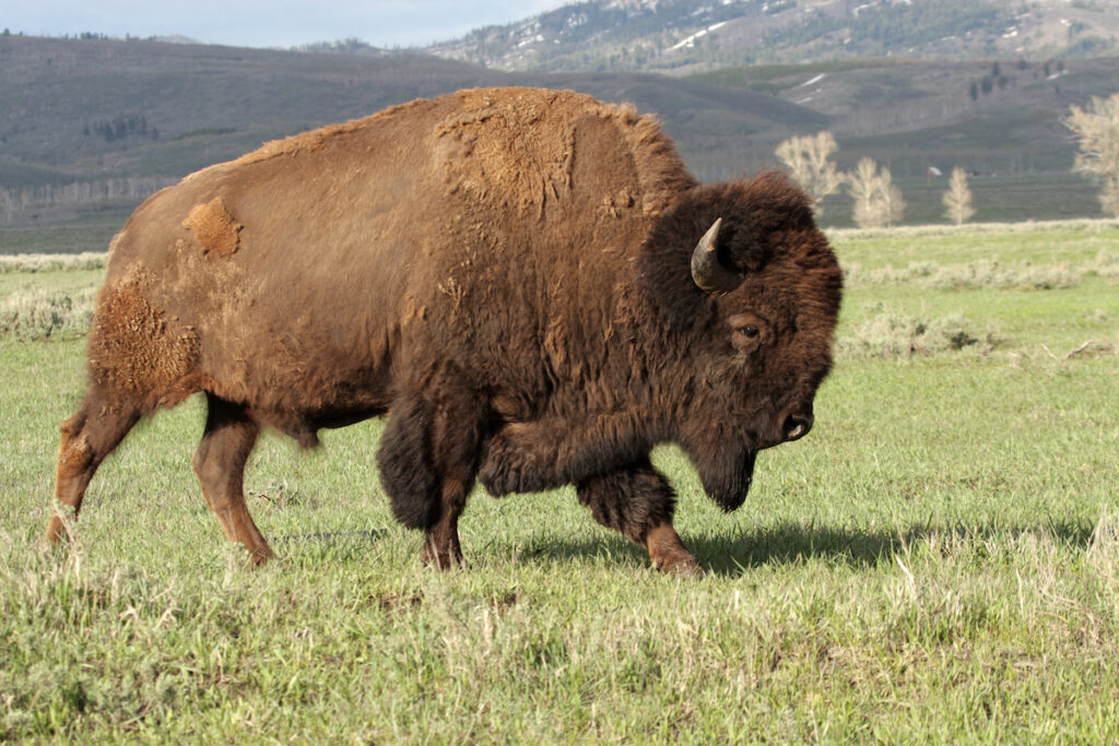A wild American Bison.