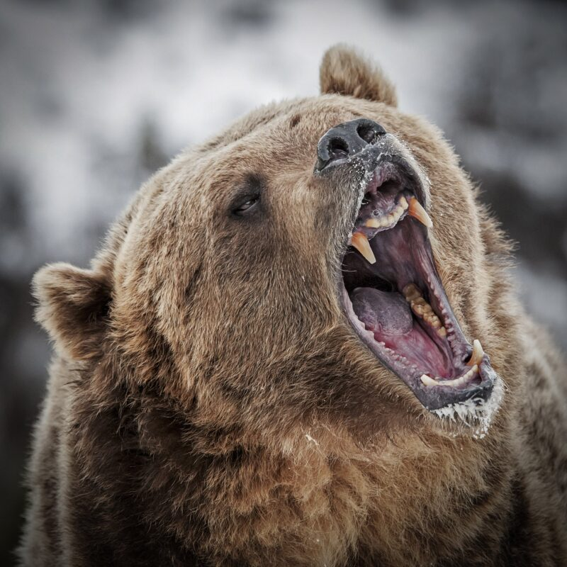 A wild grizzly bear roaring.