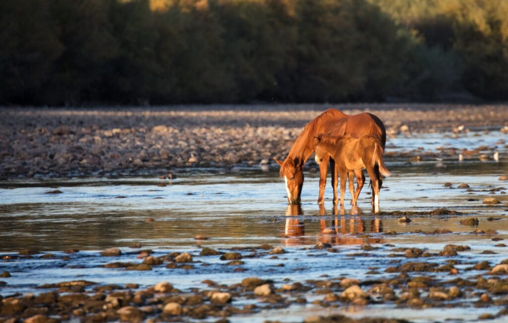 A wild horse and her foal on Arizona's Salt River.
