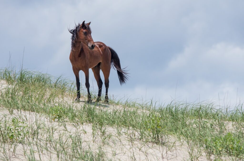 A wild horse on Carova Beach.