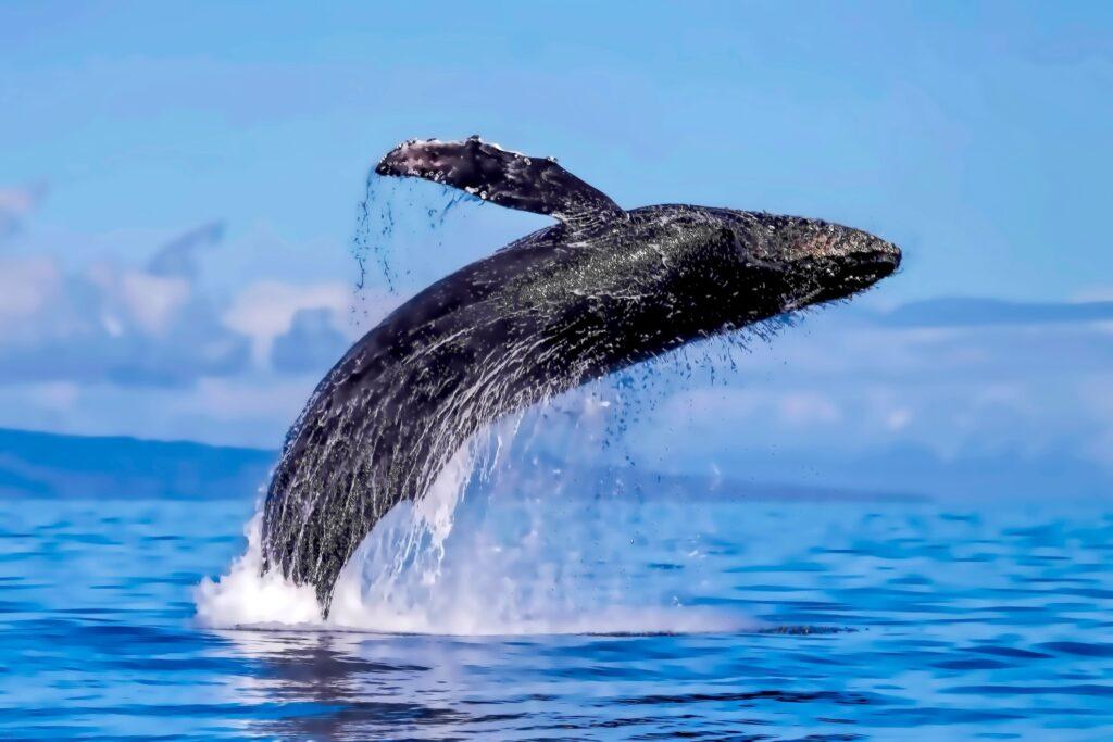 A wild humpback whale off the coast of Lahaina.