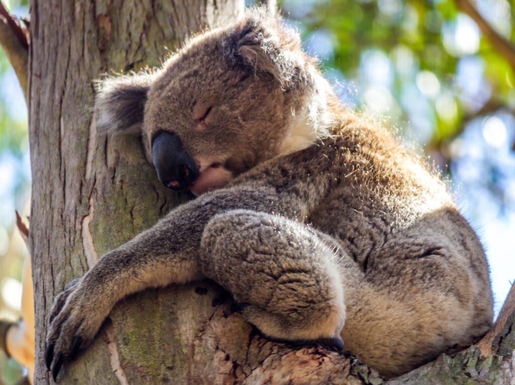 A wild koala at Kennett River.