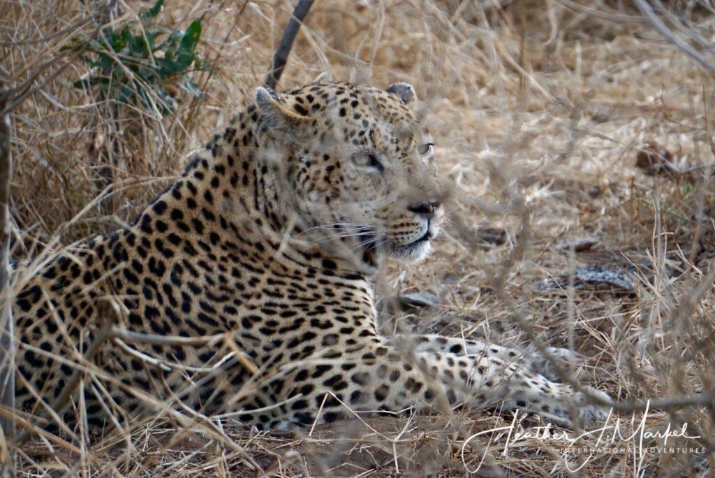 A wild leopard in Africa.