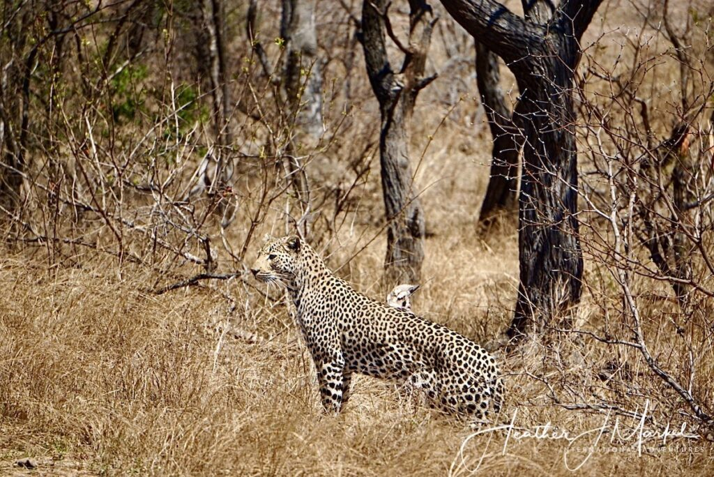 A wild leopard in South Africa.