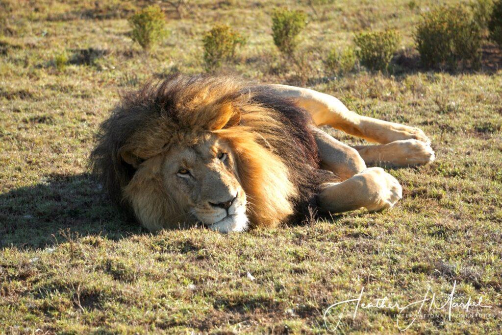 A wild lion in Africa.