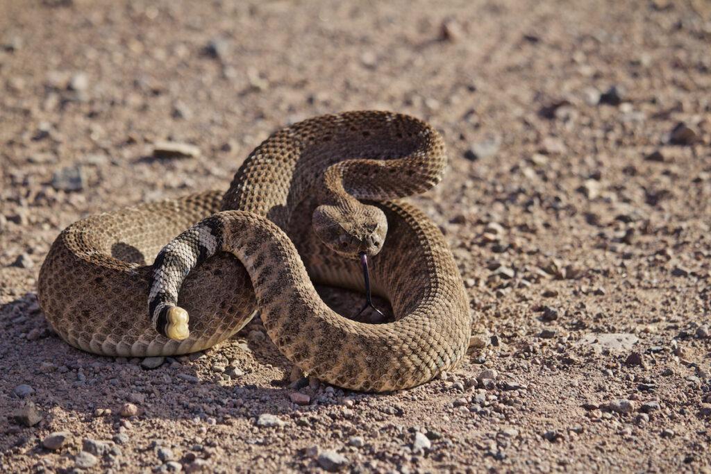 A wild rattlesnake.