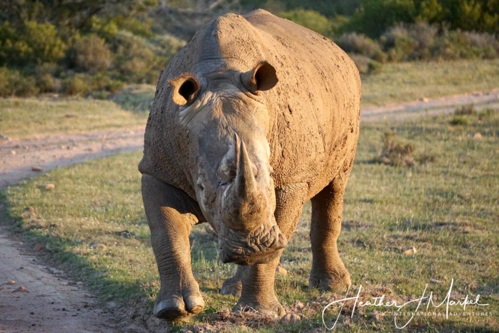 A wild rhino in South Africa.