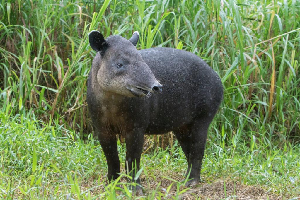 A wild tapir in South America.