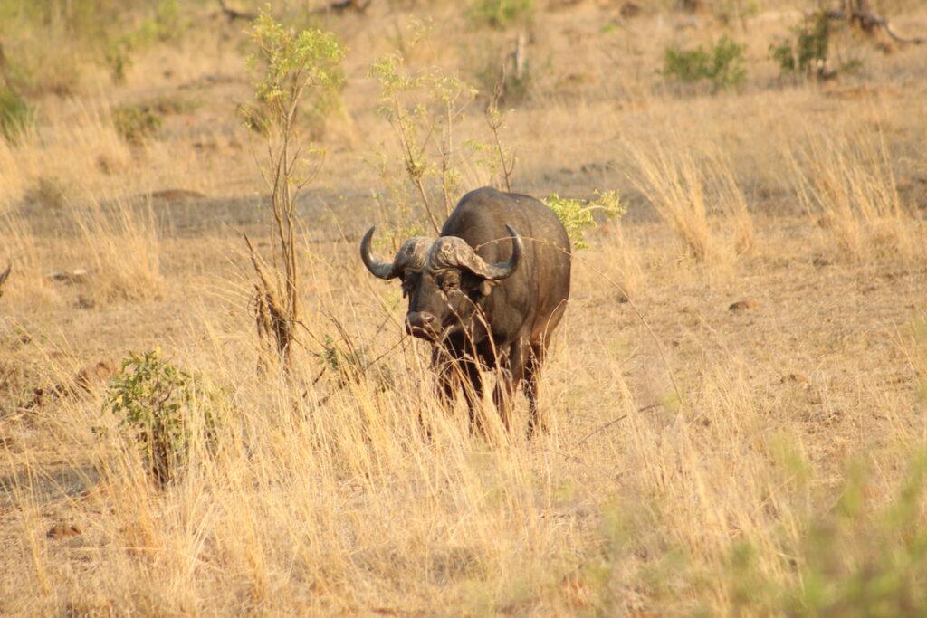 A wildebeest in Kruger National Park.