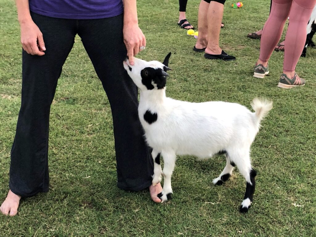 A young goat greeting a goat yoga participant.