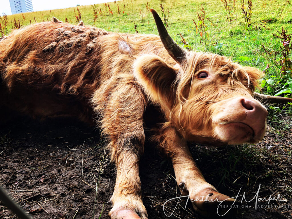 A young Highland Cow in Scotland.