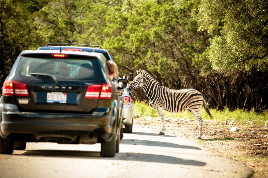 A zebra at Natural Bridge Wildlife Ranch.