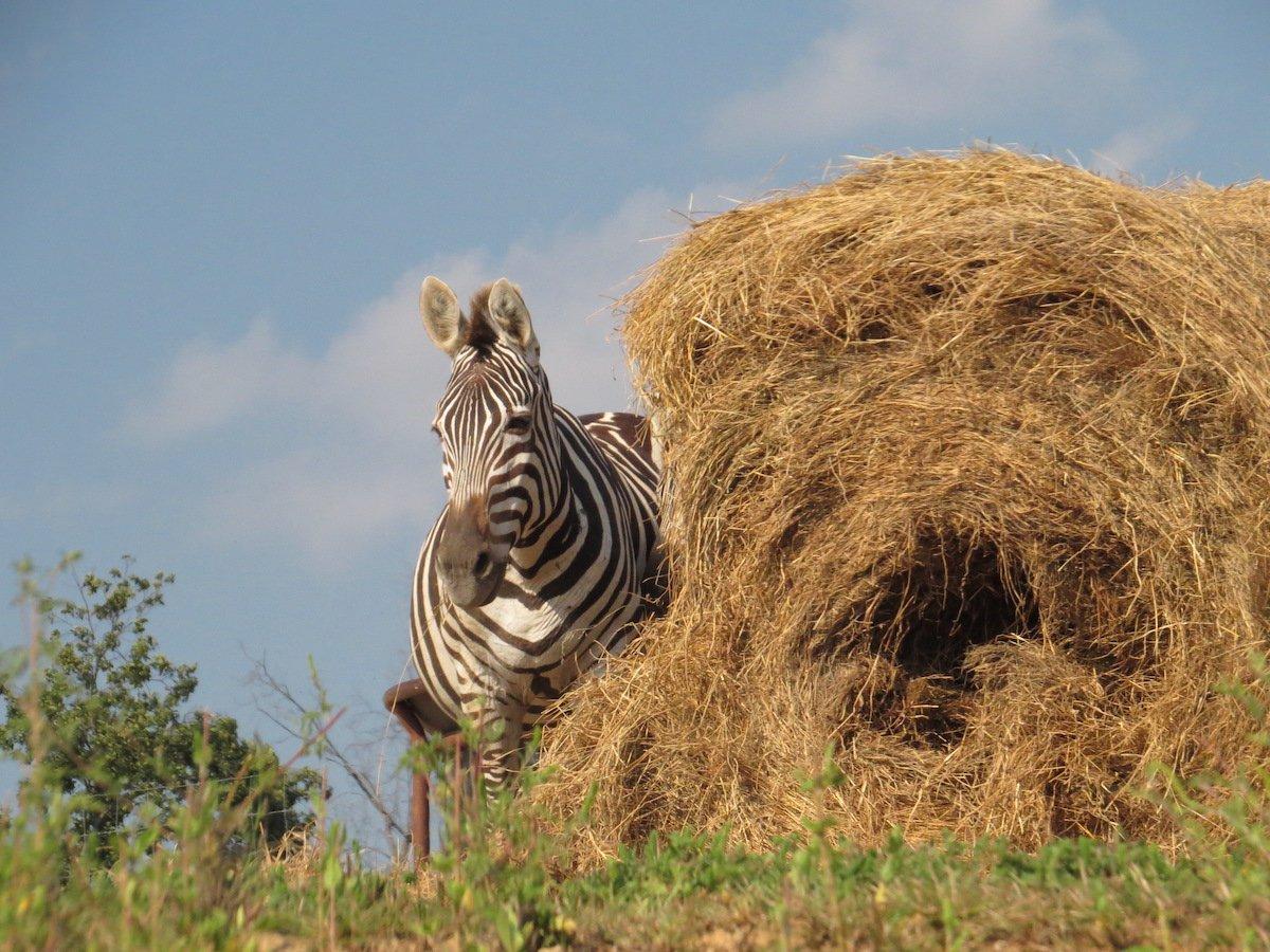 A zebra by a hay bale.