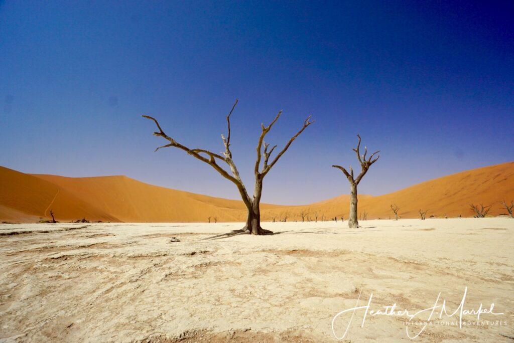 Acacia trees in Africa.