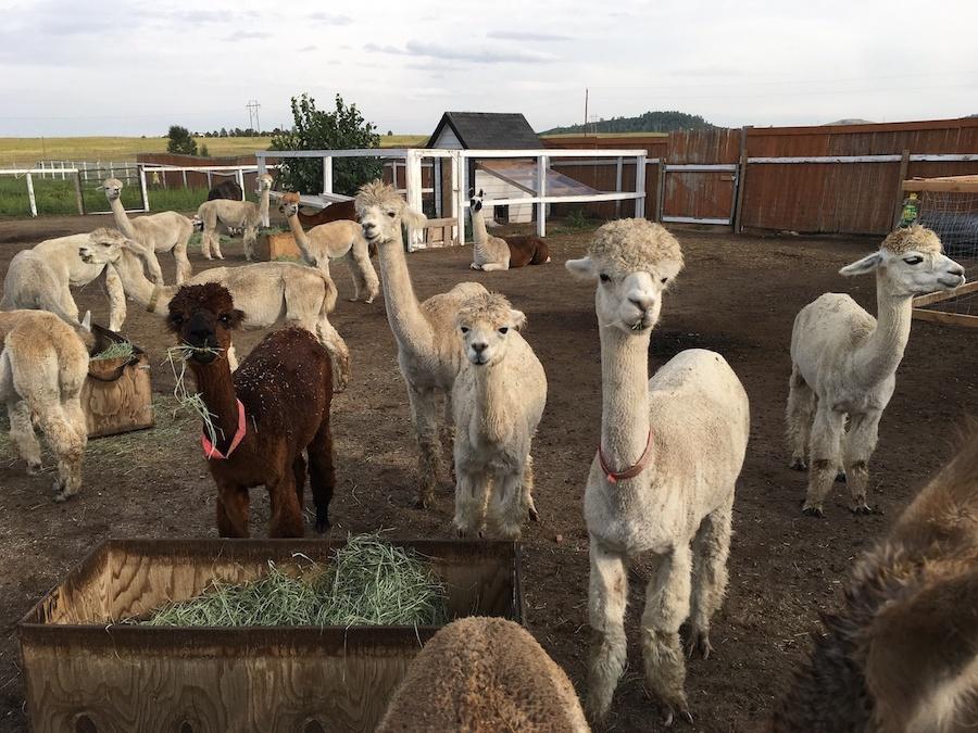 Alpacas at a farm in Larskpur, Colorado.