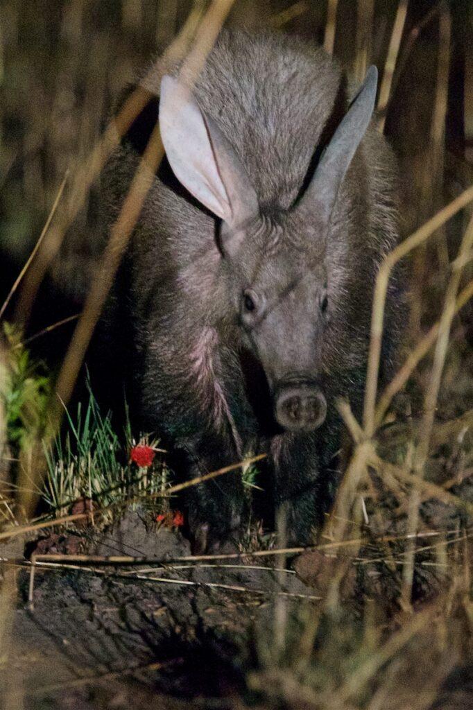 An aardvark at night.