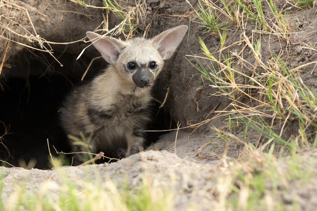 An aardwolf emerging from a hole.