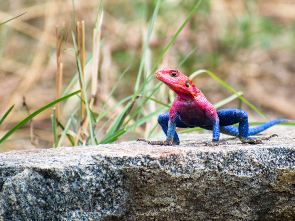 An agama lizard in Tanzania.