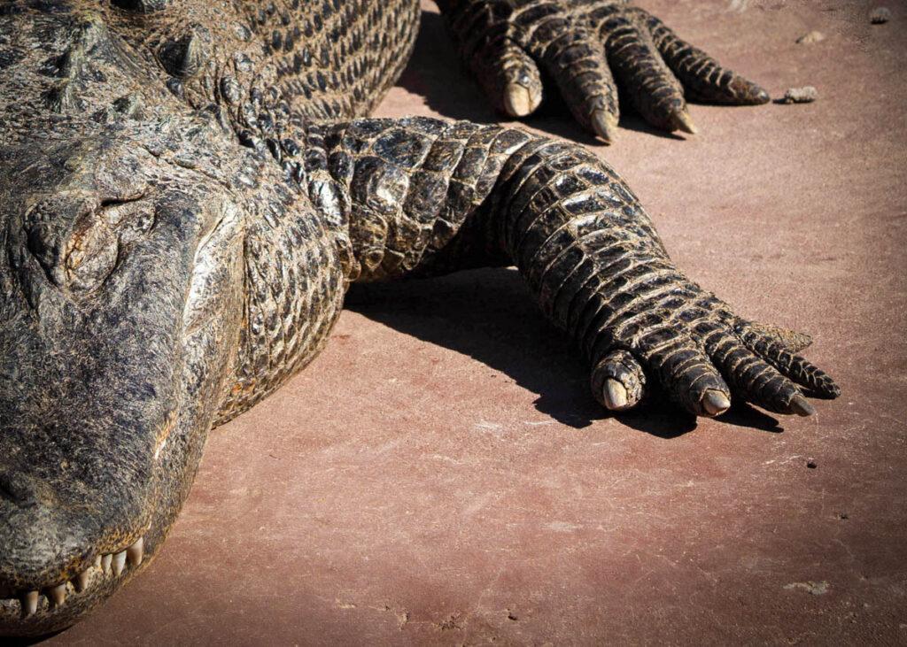 An alligator in Alabama.