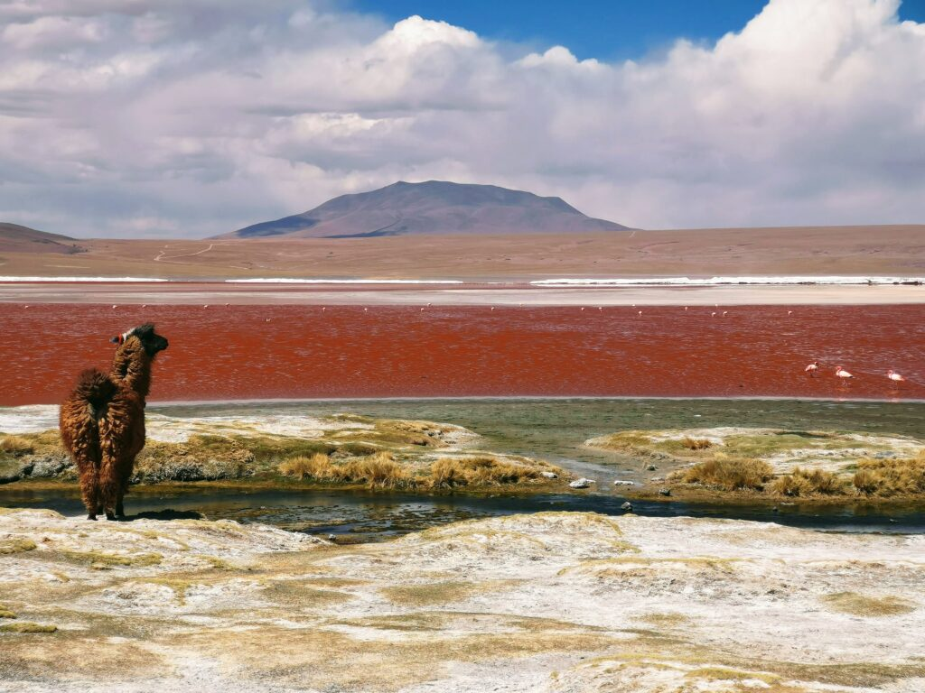 An alpaca in Sur Lipez, Bolivia