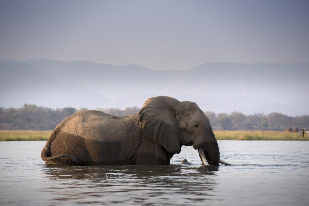 An elephant in a river.