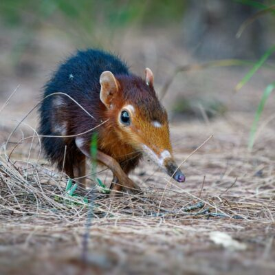 An elephant shrew in the grass.