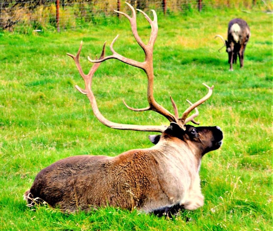 An elk at the Alaska Wildlife Conservation Center.
