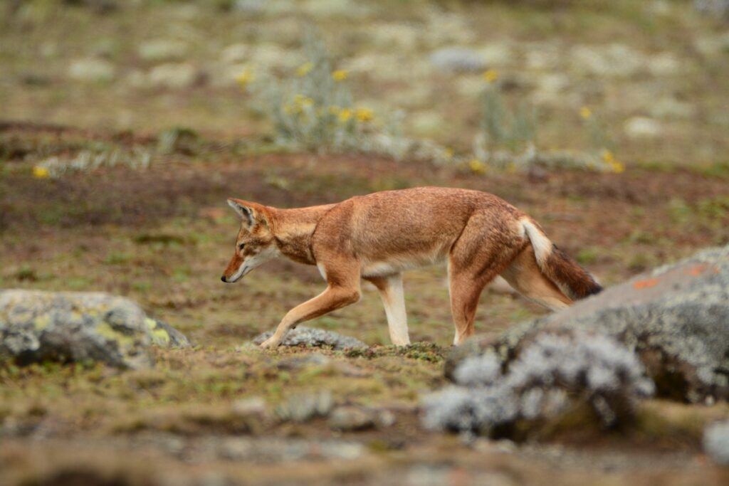 An ethiopian wolf in the Bale Mountains of Ethiopia.