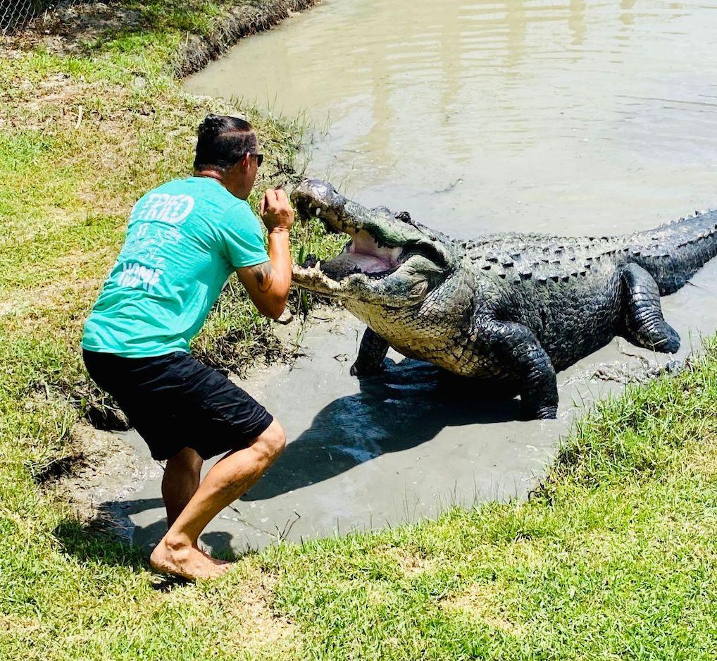 An expert feeding a gator.