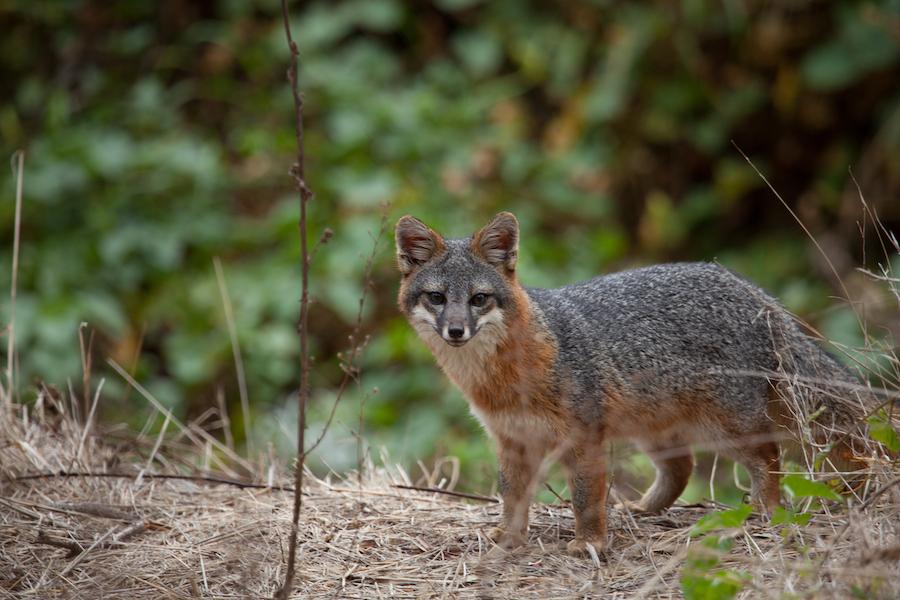 An island fox in Channel Islands National Park.