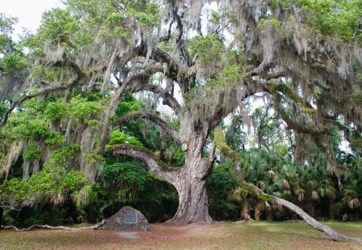 An old oak tree in Bulow Creek State Park.