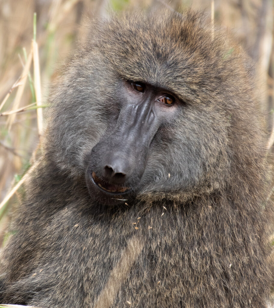 An olive baboon in Tanzania.