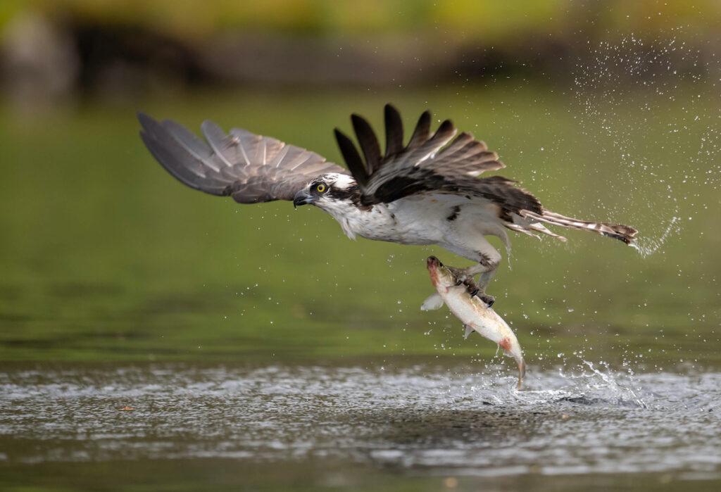 An osprey in Acadia National Park.