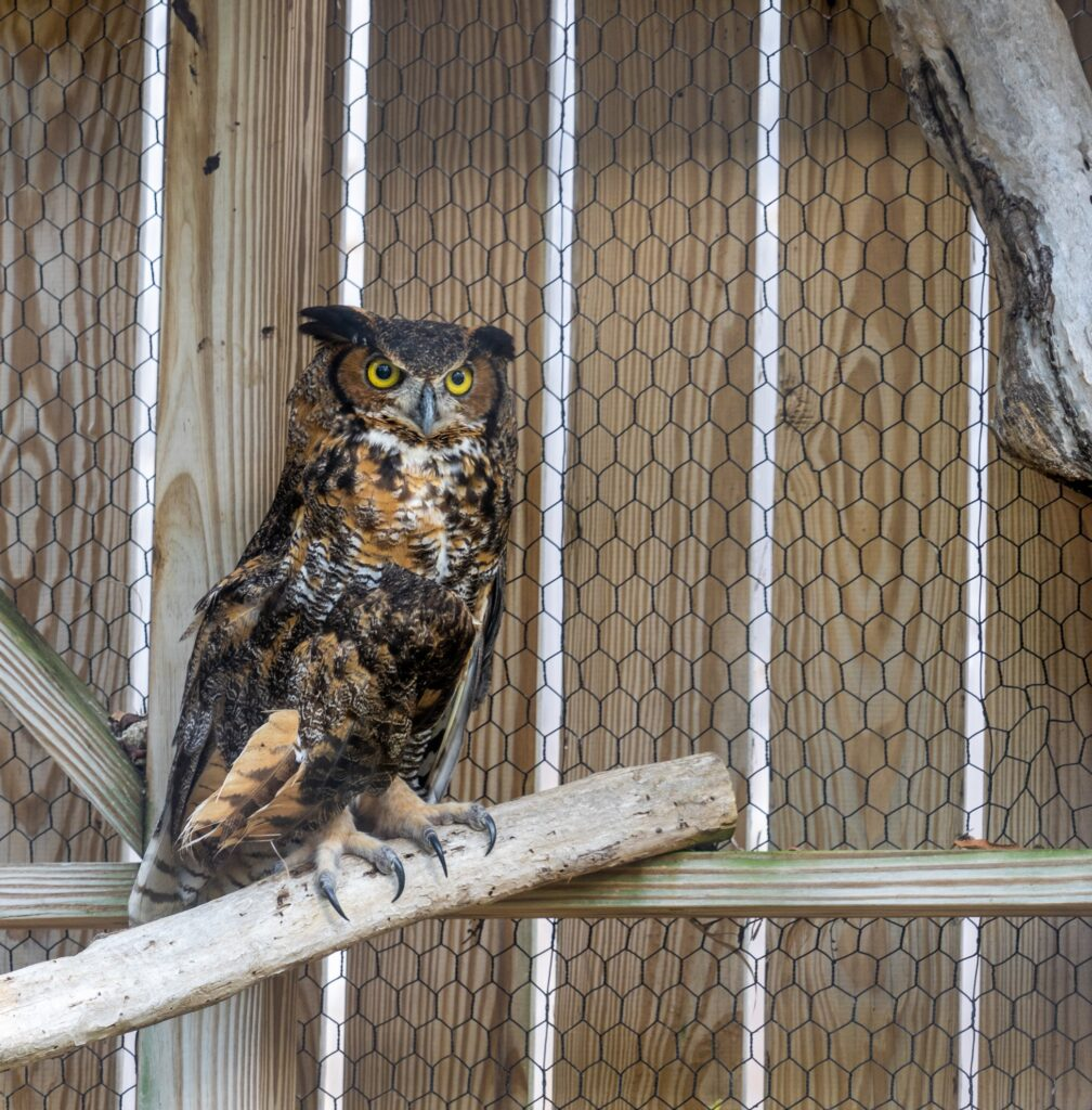 An owl at the Laura Quinn Wild Bird Sanctuary.