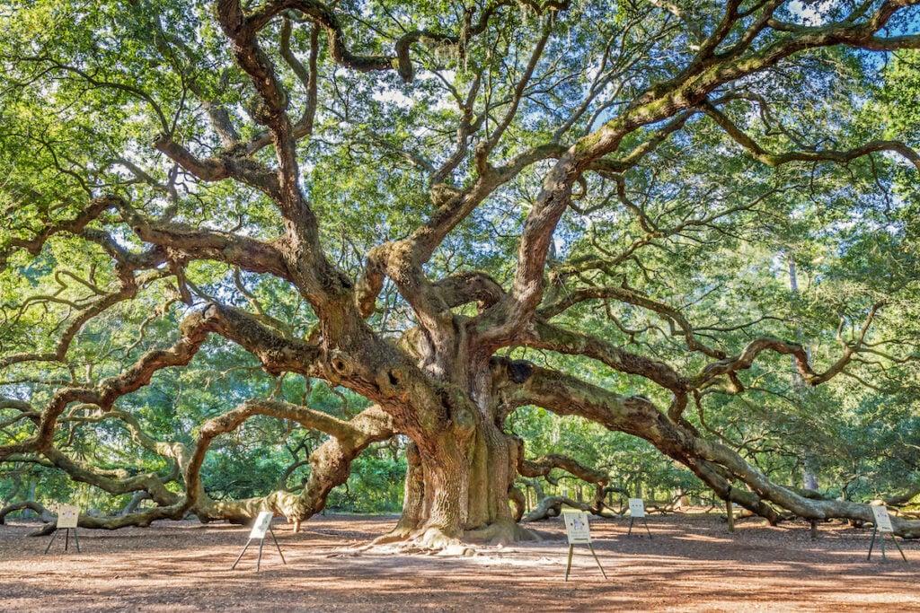 Angel Oak in Charleston, South Carolina.
