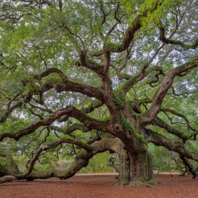 Angel Oak in Charleston, South Carolina.