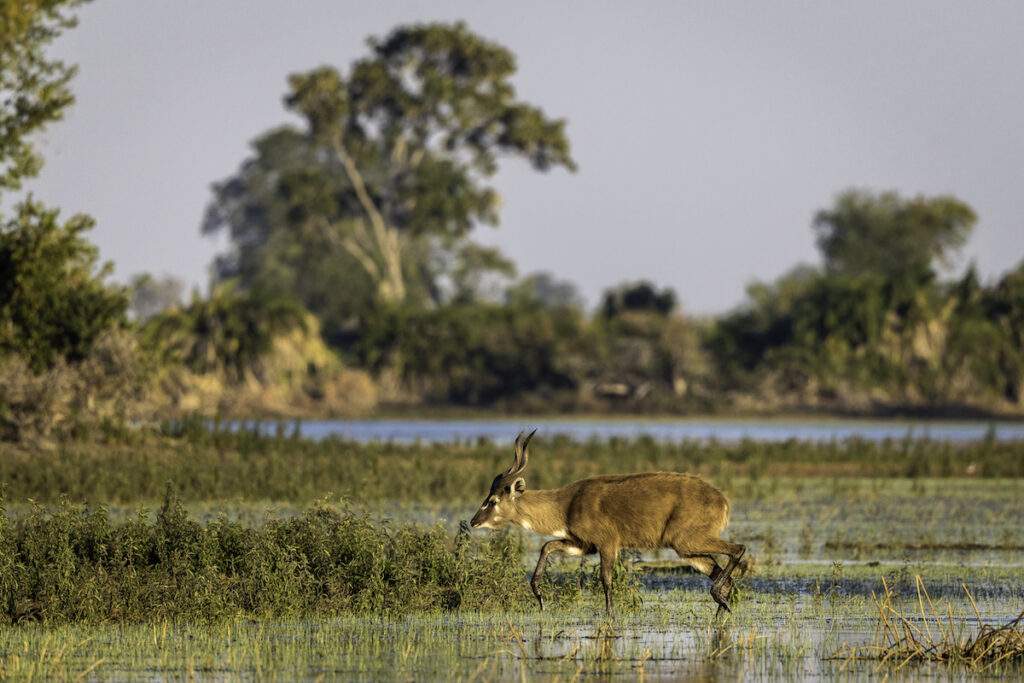 Antelope in the Okavango Delta of Botswana.